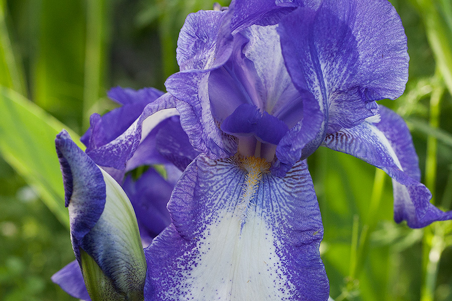 Iris Show: Purple Spotted