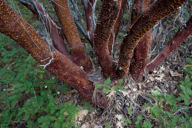 Unmistakable Red of Manzanita
