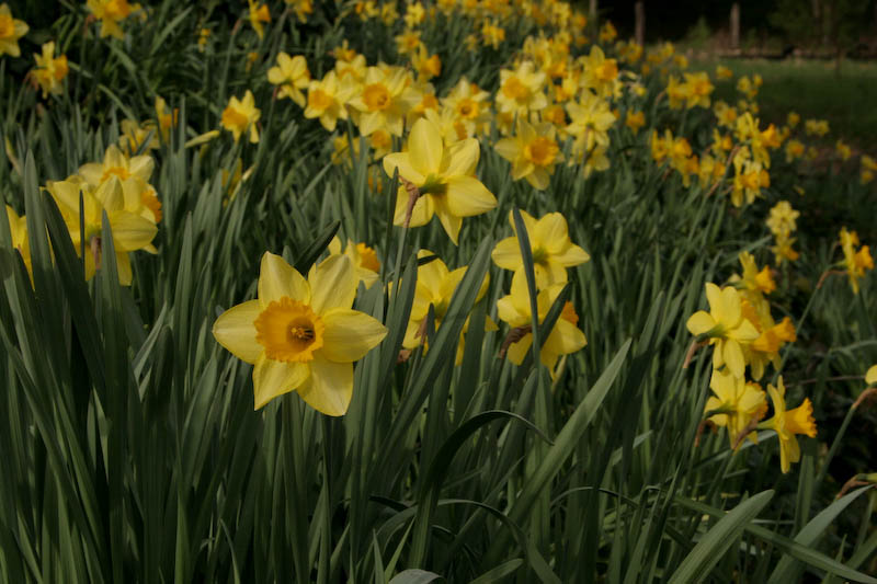 Our Daffodil Hill