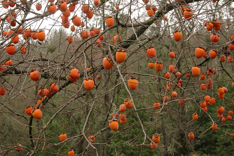 Wild persimmon tree flowers ornaments