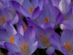 Crocus Are...